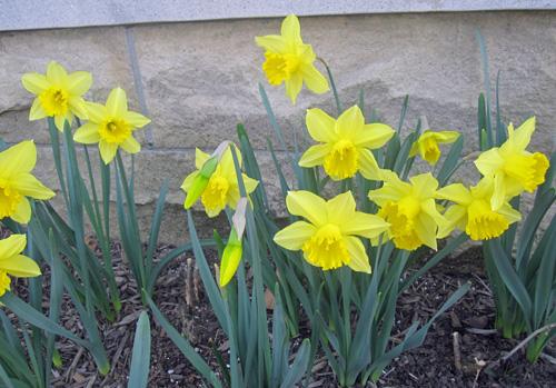 Daffodils spring flowers daffodil